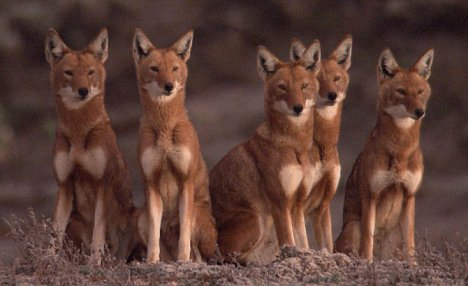 Saving the Ethiopian Wolf